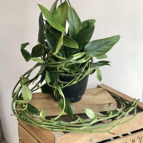 おしゃれ 観葉植物:ハネカズラ モンステラ グッディフェルム*吊り鉢 7号