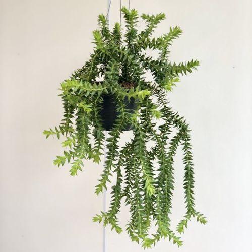 観葉植物:フペルジア ゴエベリー*吊り鉢