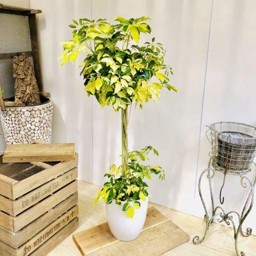 おしゃれ 観葉植物:シェフレラ ホンコン ゴールドリーフ スタンド仕立て*陶器鉢 受皿付 大型佐川急便