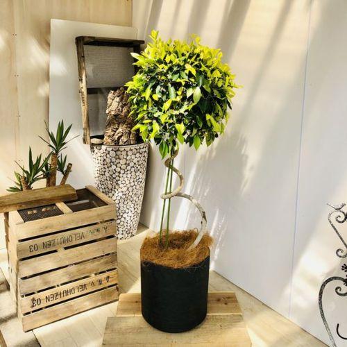 おしゃれ 観葉植物:ガジュマル ゴールドリーフ らせん仕立て*鉢カバー付き ヤシ飾り 大型佐川急便