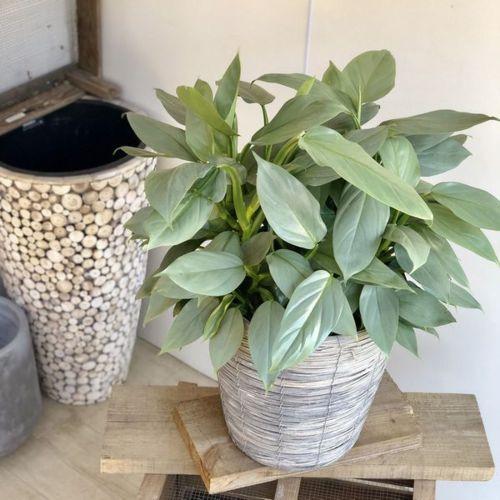 おしゃれ 観葉植物:フィロデンドロン インベ シルバーメタル*バスケット付き