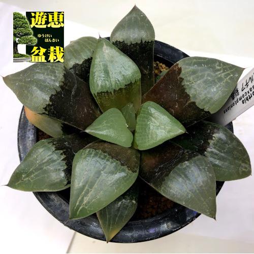 多肉植物:ハオルチア 彩寿*幅14cm 現品!一品限り