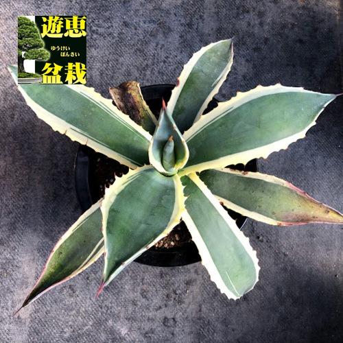 多肉植物:アガベ ソブリア覆輪*幅40cm 現品!一品限り ※傷あり