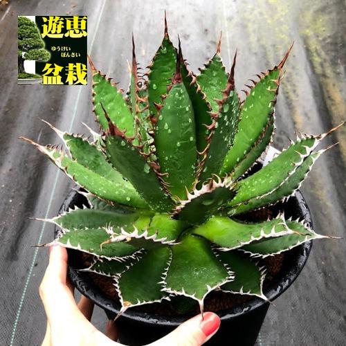 <title>Agave horrida 多肉植物:アガベ プレゼント ホリダ 全幅22cm 現品 一品限り</title>