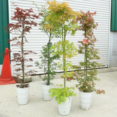 送料無料 庭木:もみじの木 いろいろな品種 * 樹高:約120cm 全高:約140cm  ヤマト便発送