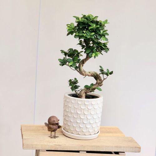 おしゃれ 観葉植物:ガジュマル 昇り竜 多幸の木 *陶器鉢 受皿付