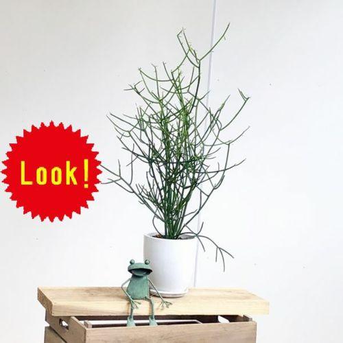 おしゃれ 観葉植物 多肉植物:ミルクブッシュ*陶器鉢 受皿付