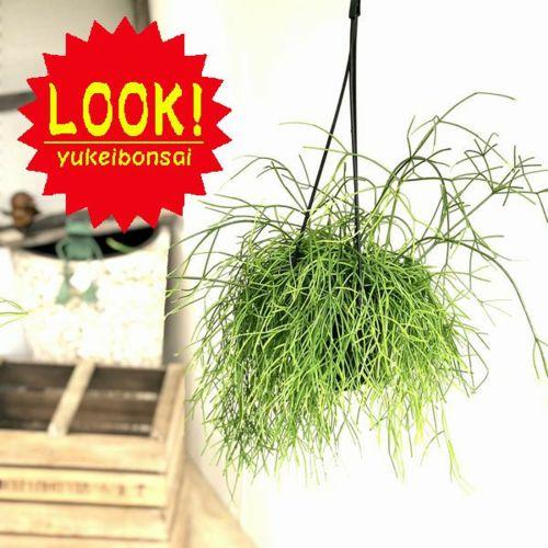 観葉植物:リプサリス カシューロ*5号 吊り鉢