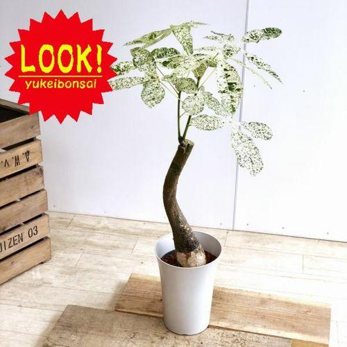 お気にいる おしゃれ 観葉植物:斑入りパキラ 日本全国 送料無料 ミルキーウェイ プラポット