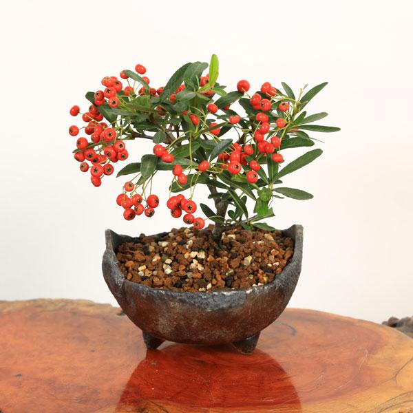 小品盆栽:ピラカンサ(トキワサンザシ)*国産木の葉鉢bonsai