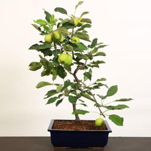 中品盆栽:乙女りんご*国産長方鉢