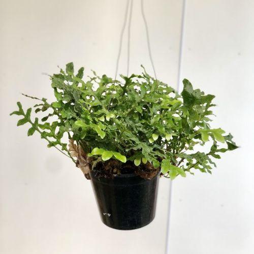 観葉植物:ドリナリア クエルシフォリア*吊り鉢