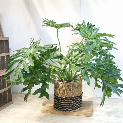観葉植物:フィロデンドロン  セローム おしゃれバスケットカバー付き* 大型佐川急便