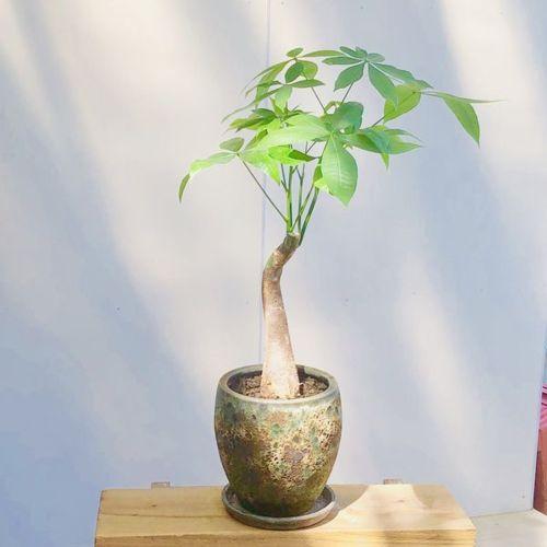 おしゃれ 観葉植物:パキラ*鉢植え 受皿付 アンティーク シャビー