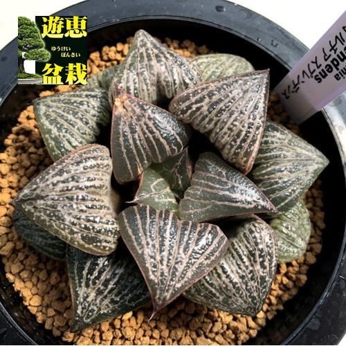多肉植物:ハオルチア スプレンデンス*幅9cm 現品!一品限り