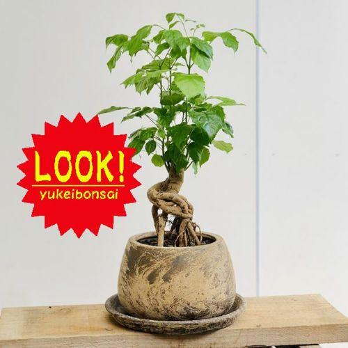 観葉植物:ヘテロパナックス*鉢植え 受皿付 バークチップ