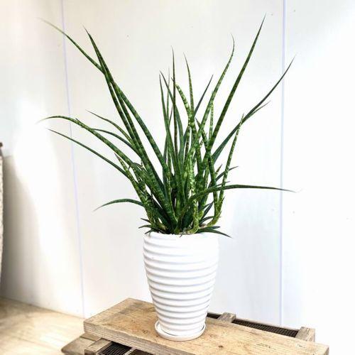 観葉植物:サンスベリア ファーンウッド*BB2 現品