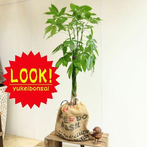 おしゃれ ジャンク シャビー 観葉植物:編み込みパキラ*コーヒー豆麻袋