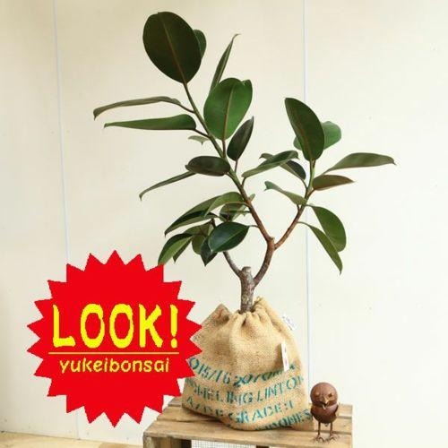 おしゃれ 観葉植物:フィカス バーガンディー*クロゴムの木 コーヒー豆麻袋