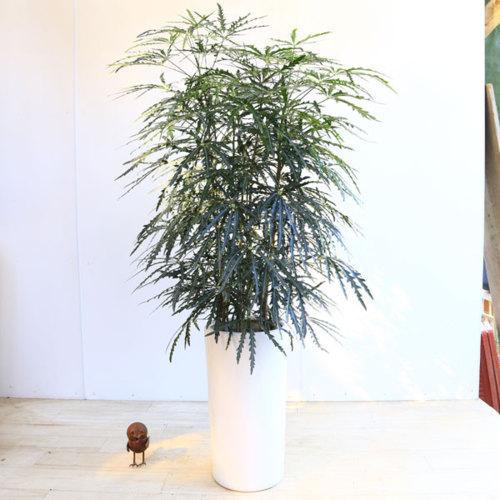 おしゃれ 観葉植物:アラレア*あられあ 陶器鉢*大型ヤマト便