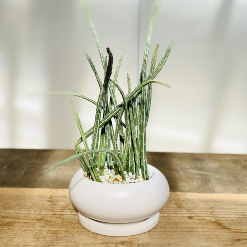 おしゃれ 観葉植物 多肉植物:セネシオ スタペリフォルミス*鉢植え