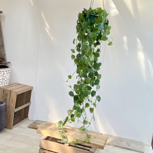 おしゃれ 観葉植物:シラフカズラ スキンダプサス アルギラ*吊り鉢