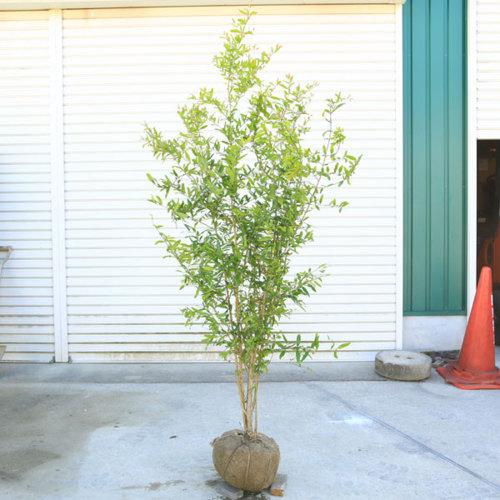 庭木・植木:大実ザクロ(カリフォルニアザクロ)柘榴 樹高:150cm 佐川急便発送 樹形が美しい株が入荷しました!