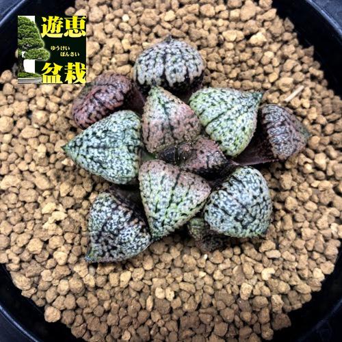 多肉植物:ハオルチア 関西系モザイクピクタ*幅5.5cm 現品!一品限り