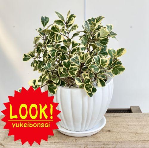 観葉植物:フィカス スウィートハート*鉢植え 受皿付