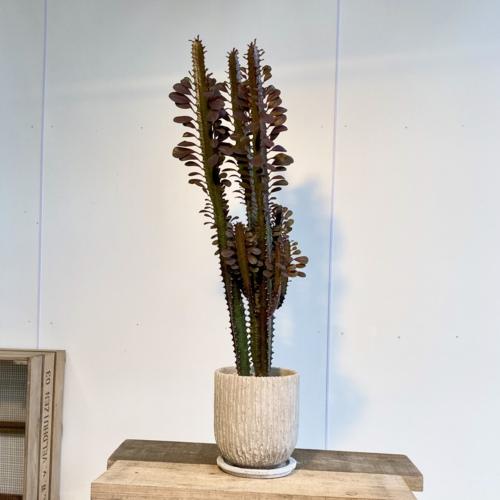 多肉植物 観葉植物:ユーフォルビア 紅彩雲閣*トリゴナロイヤルレッド 鉢植え 受皿付