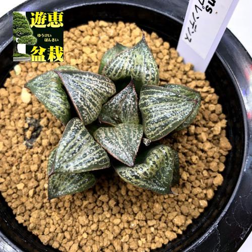 多肉植物:ハオルチア スプレンデンス*幅5.5cm 現品!一品限り