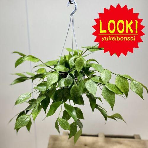 観葉植物 多肉植物:ホヤ ポリネウラ*吊り鉢