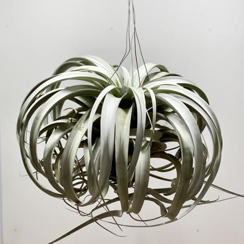 観葉植物:チランジア エアープランツ キセログラフィカ*現品