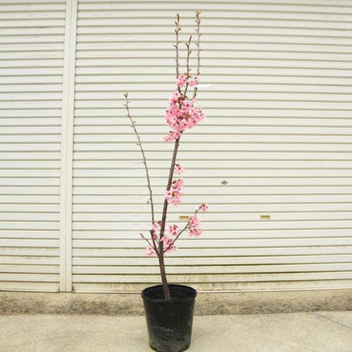 送料無料 特選庭木:陽光桜(ヨウコウサクラ)ようこうさくら* 樹高:約180cm 全高:約200cm 佐川大型商品発送