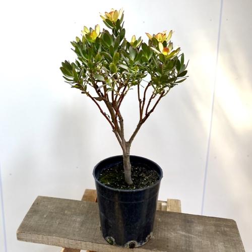 おしゃれ 希少品種 観葉植物:リューカデンドロン サマーサン* 7号