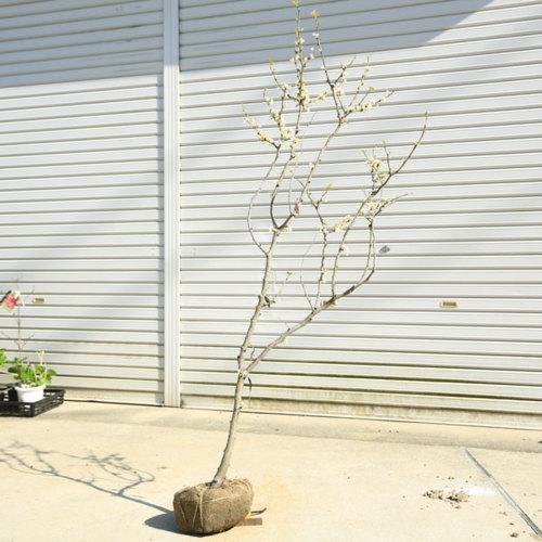 送料無料 庭木:白花ハナズオウ* 現品限り!樹高:約150cm 全高:約160cm 佐川大型商品発送
