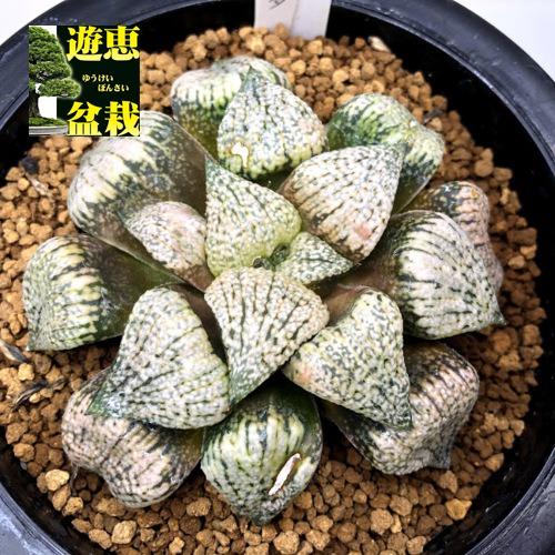 多肉植物:ハオルチア ピクタ 酒井氏*幅8.5cm 現品!一品限り