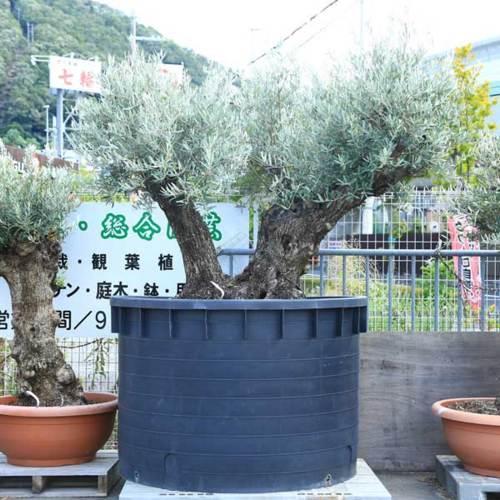シンボルツリー・庭木:オリーブの木 2番 古代オリーブ 現品限り!
