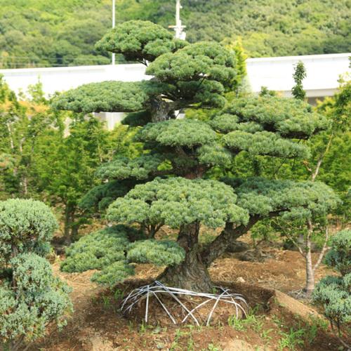 庭木:五葉松 特選大株 現品一点限り 3番 *【送料無料】