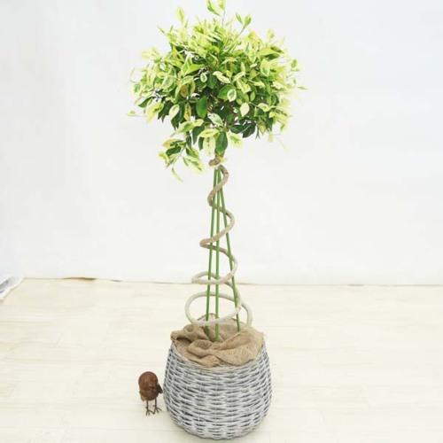 観葉植物:斑入りガジュマル*らせん仕立て バスケット付き 大型ヤマト便