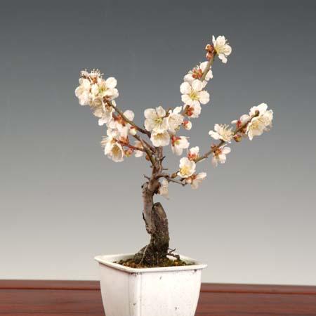 小品盆栽素材苗:梅(貴山白)*