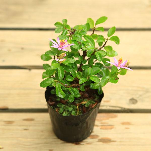 長い間お花を楽しめます☆ 苗:睡蓮木(スイレンボク)