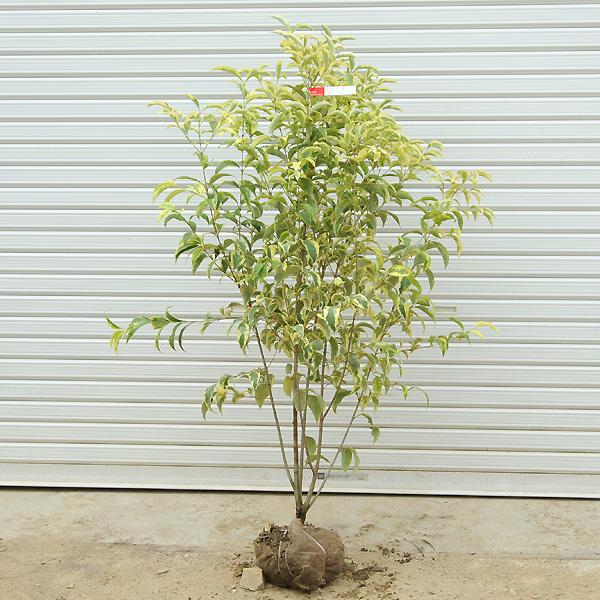 送料無料!! 庭木:トウネズミモチトリカラー *樹高約160cm 全高約170cm SGW大型商品発送!