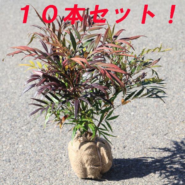☆送料無料☆ 庭木:マホニアコンフューサ(細葉ヒイラギナンテン)*根巻き 10本セット