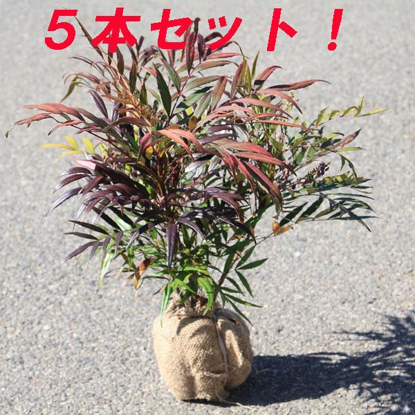庭木:マホニアコンフューサ(細葉ヒイラギナンテン)*根巻き 5本セット !(^^)!
