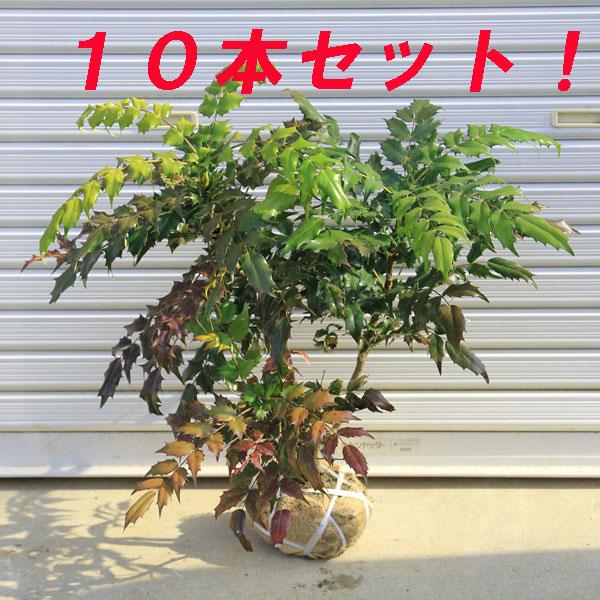 ☆送料無料☆ 庭木:柊南天(ヒイラギナンテン)* 10本セット!