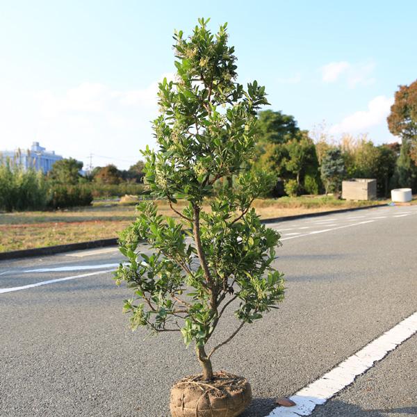 ☆送料無料☆庭木:姫イチゴノキ/ストロベリーツリー(白花)* 樹高:約100cm ヤマト便大型商品発送!
