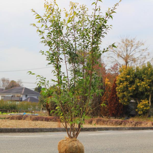 送料無料! 庭木:ハイノキ(はいのき)  常緑樹 シンボルツリー* 樹高120cm 全高:140cm ヤマト便大型商品発送!