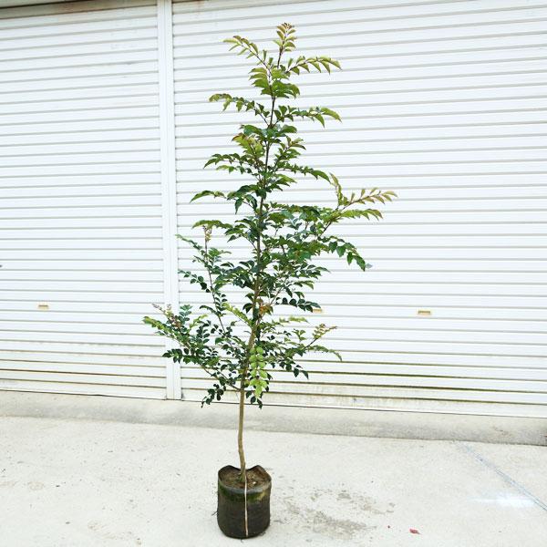 【送料無料】庭木:シマトネリコ *単木 樹高:約150cm 佐川急便大型商品発送!