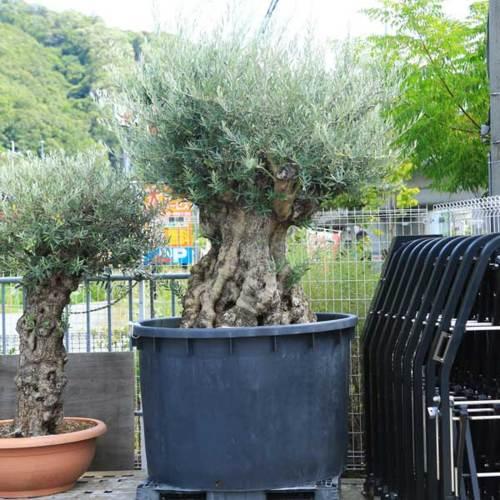 シンボルツリー・庭木:オリーブの木 1番 古代オリーブ 現品限り!